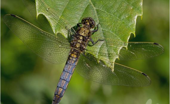 Black-Tailed Skimmer Dragonfly (Orthetrum cancellatum)