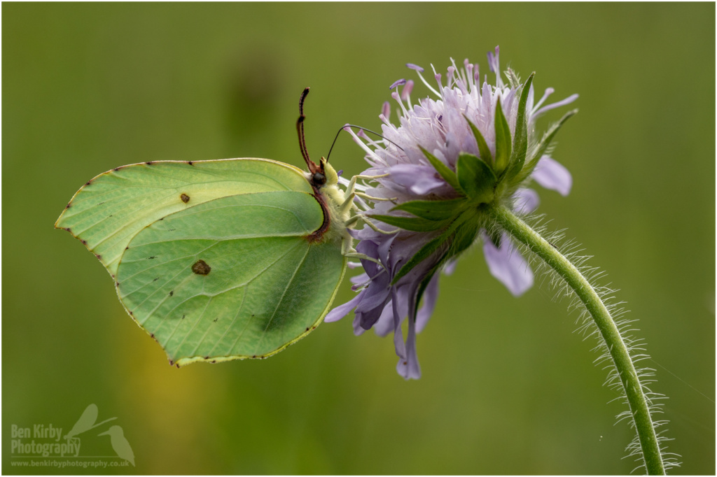 Brimstone butterfly on Scabious (BKPBUTT0011)