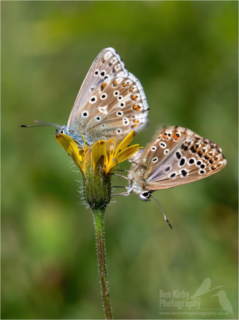 Mating pair of Chalkhill Blue butterflies (BKPBUTT0020)