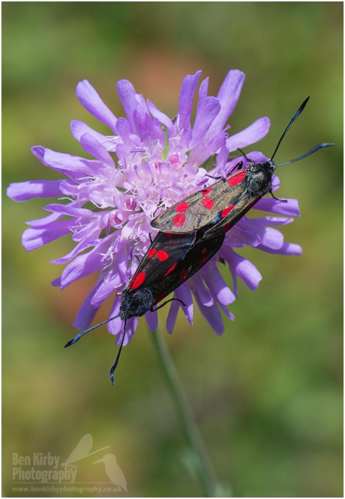 Mating Pair of Six-spot Burnet Moths (BKPMOTH0001)
