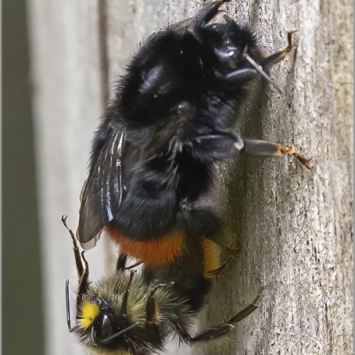 Mating pair of Red-tailed bumblebees (Bombus lapidarius) (BKPINSE0005)