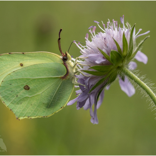 Brimstone Butterfly On Scabious