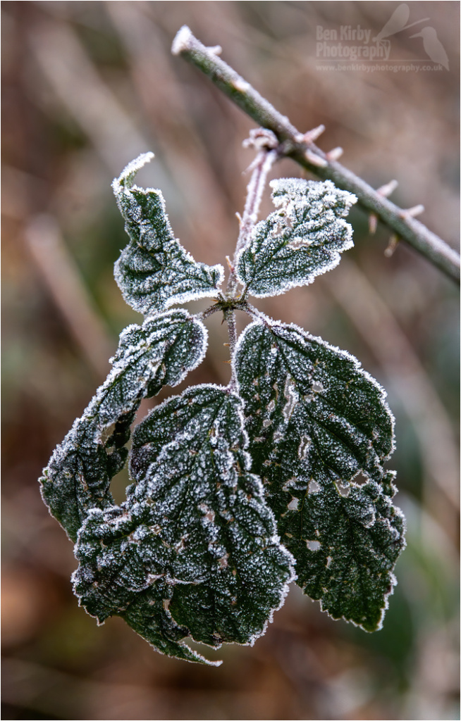 Bramble Leaf Covered In Frost (BKPWEAT0002)