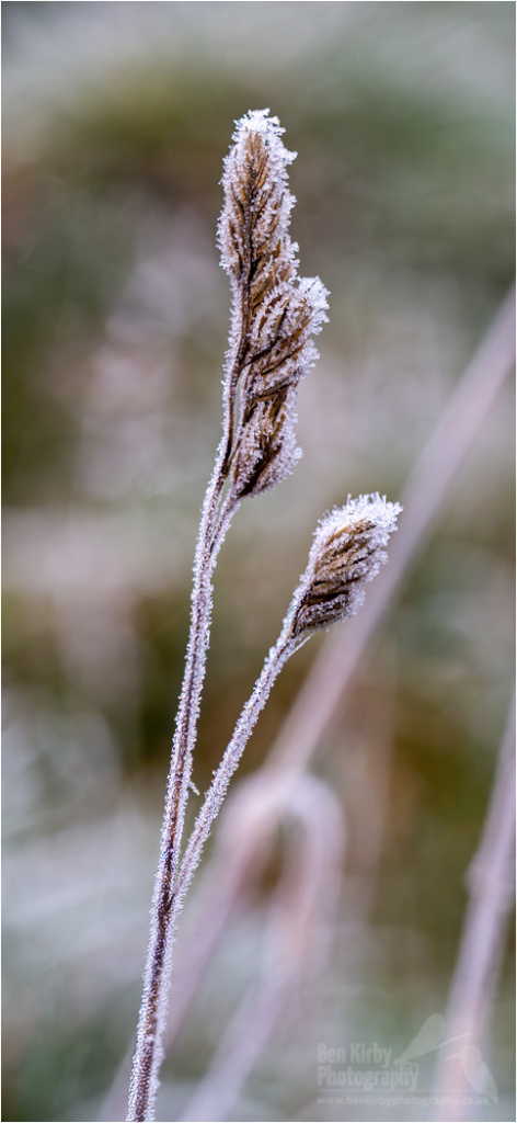 Frost Covered Grass Head (BKPWEAT0004)
