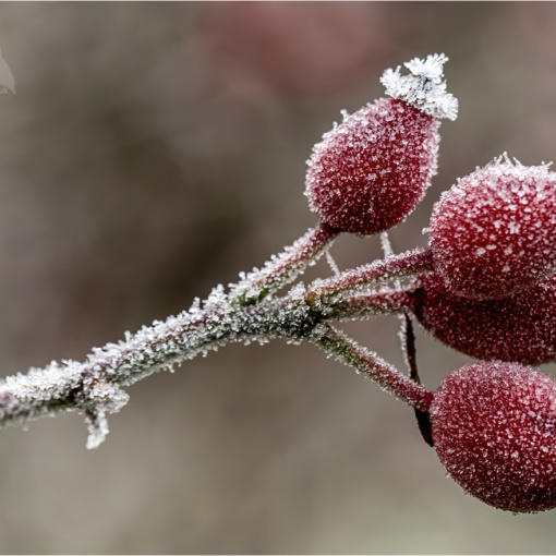 Frost Covered Rose Hips (BKPWEAT00011)