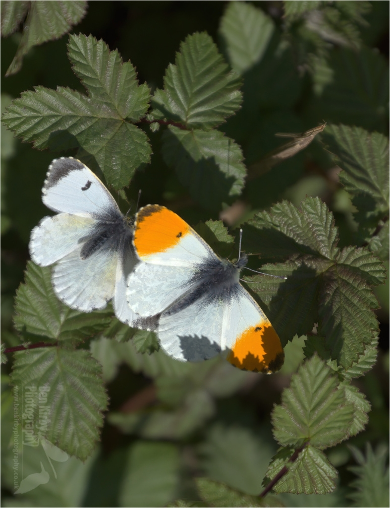 Pair of Orange Tip Butterflies (BKPBUTT0022)