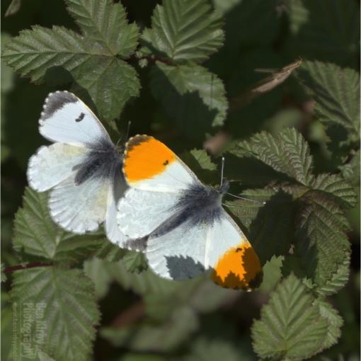 Pair of Orange Tip Butterflies (BKPBUTT0022)