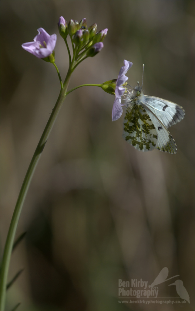 Female Orange Tip Butterfly on Milkmaid (BKPBUTT0025)