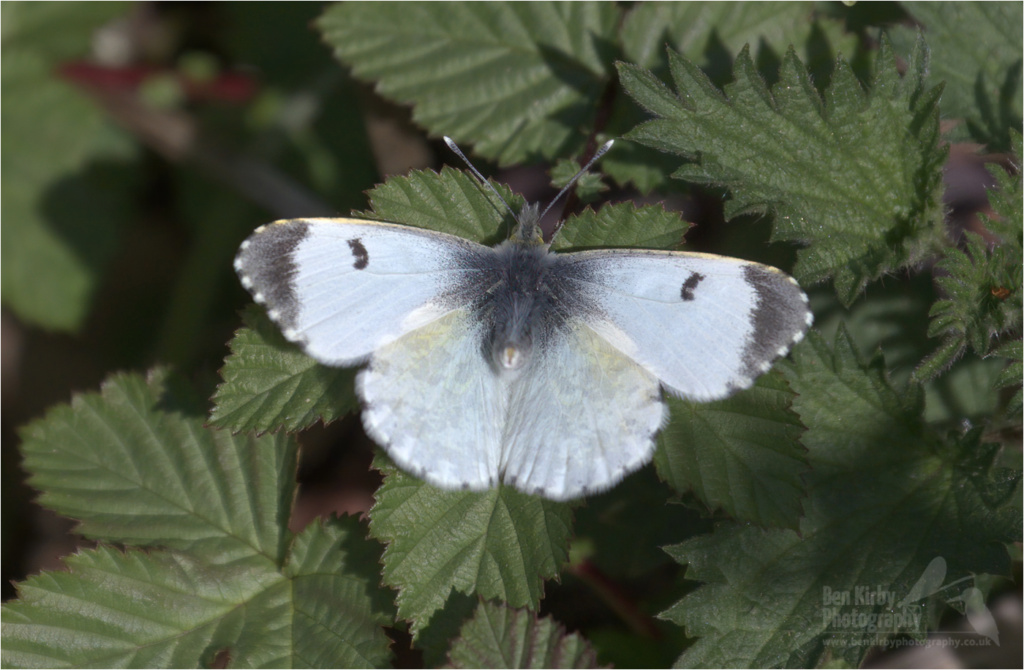 Female Orange Tip Butterfly (BKPBUTT0024)
