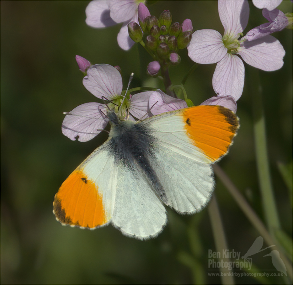 Male Orange Tip Butterfly on Milkmaid (BKPBUTT0023)