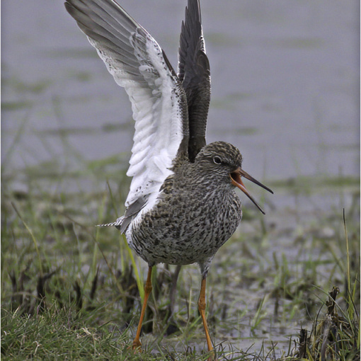 Common Redshank (BKPBIRD00034)
