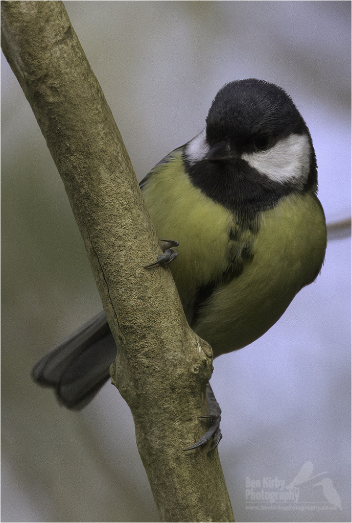Female Great Tit (BKPBIRD00045)