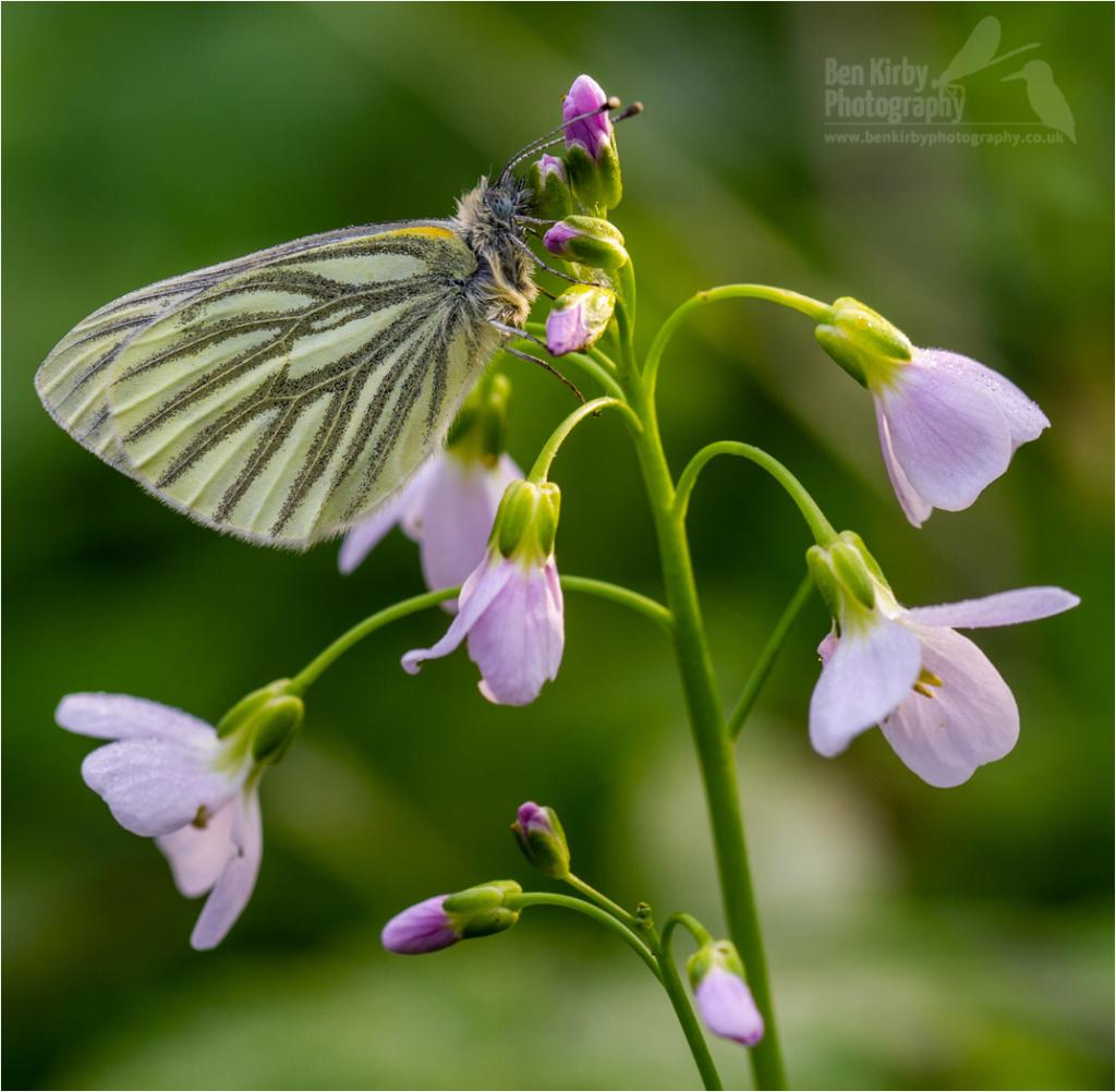 Green-veined White On Milkmaid (BKPBUTT0026)