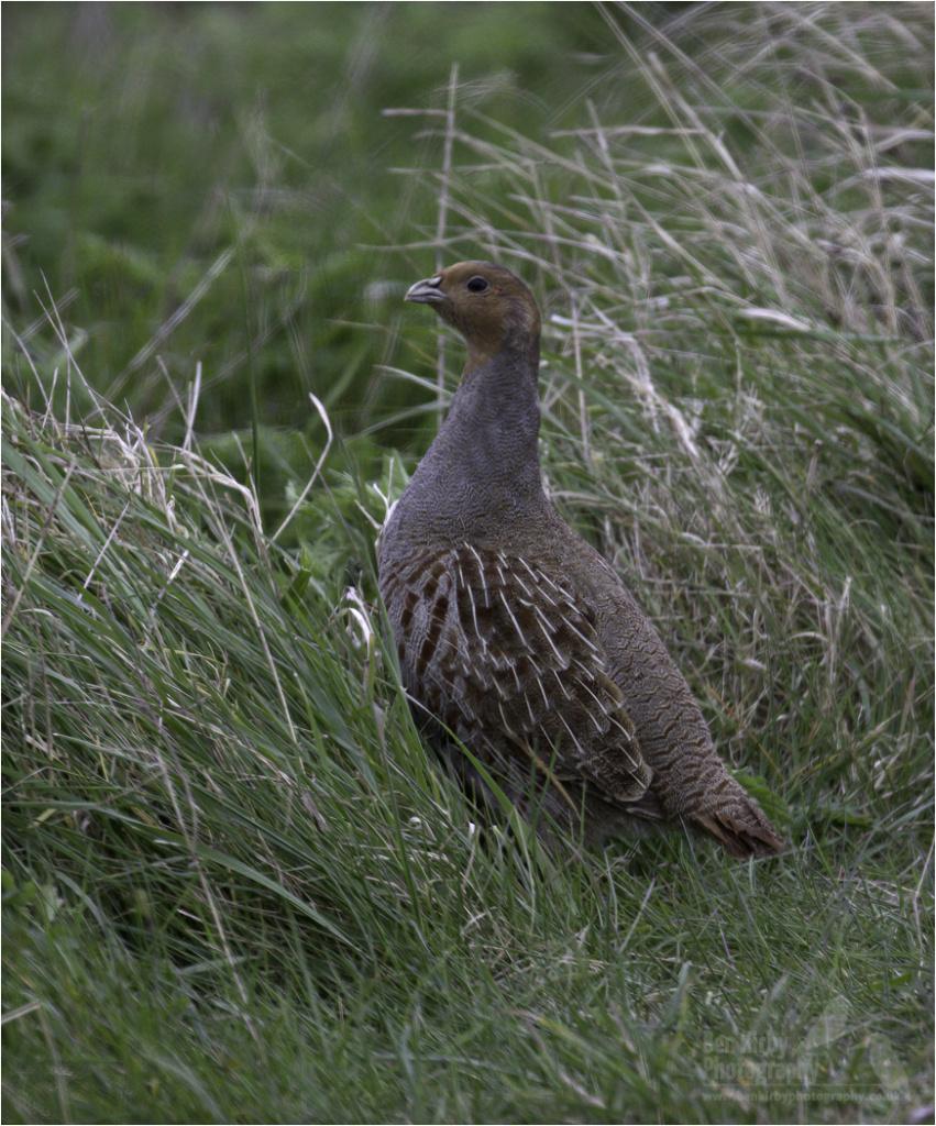 Grey Partridge (BKPBIRD00035)