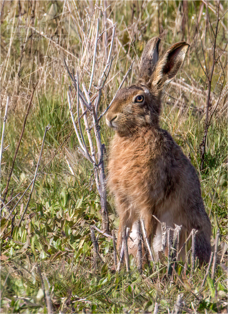 Hare (BKPMAMM0007)