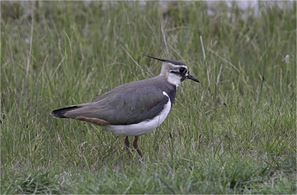 Lapwing (BKPBIRD00036)