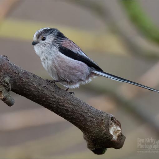 Long-tailed Tit (BKPBIRD00048)