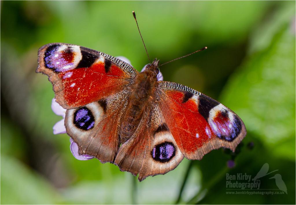 Peacock Butterfly (BKPBUTT0027)