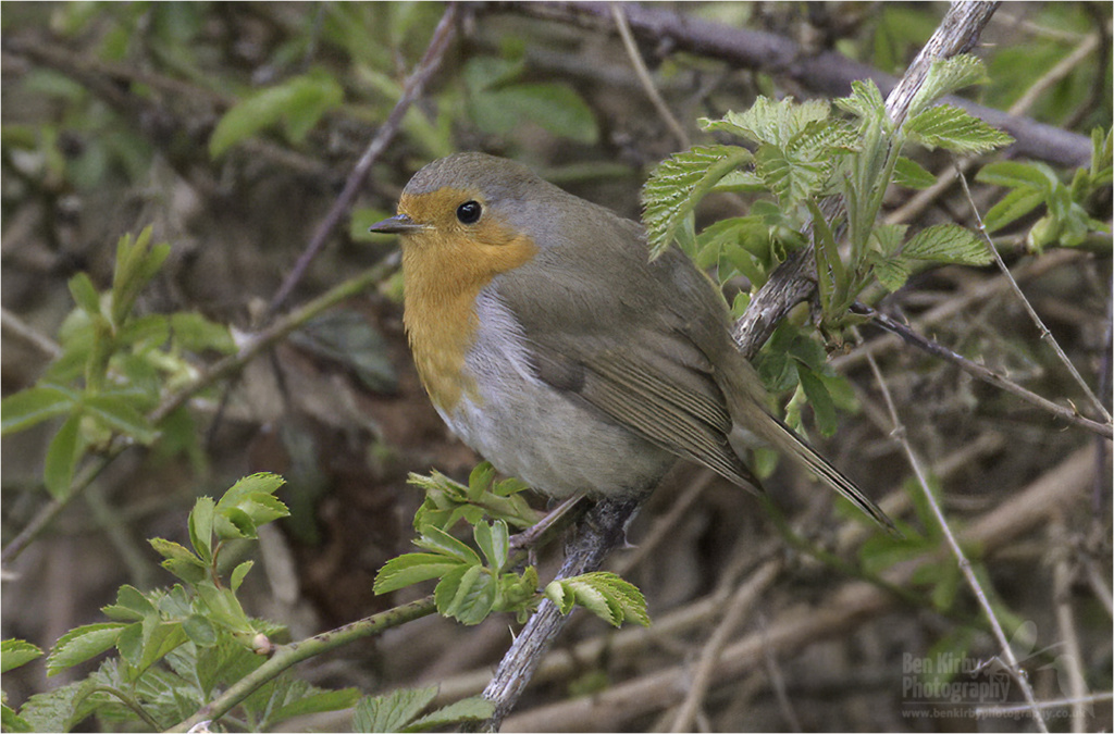 Robin (BKPBIRD00041)