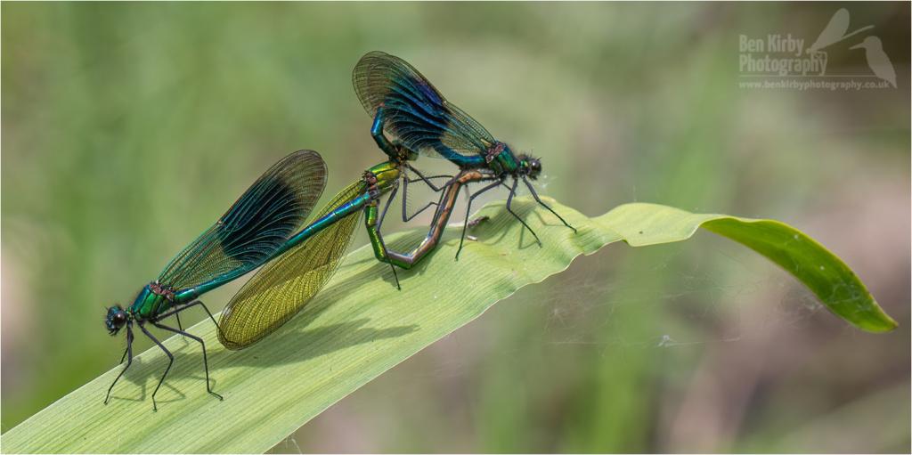 Mating Pair Of Banded Demoiselles (BKPDEMO0002)