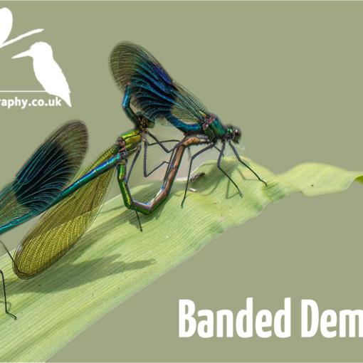 YouTube Thumbnail - Banded Demoiselles
