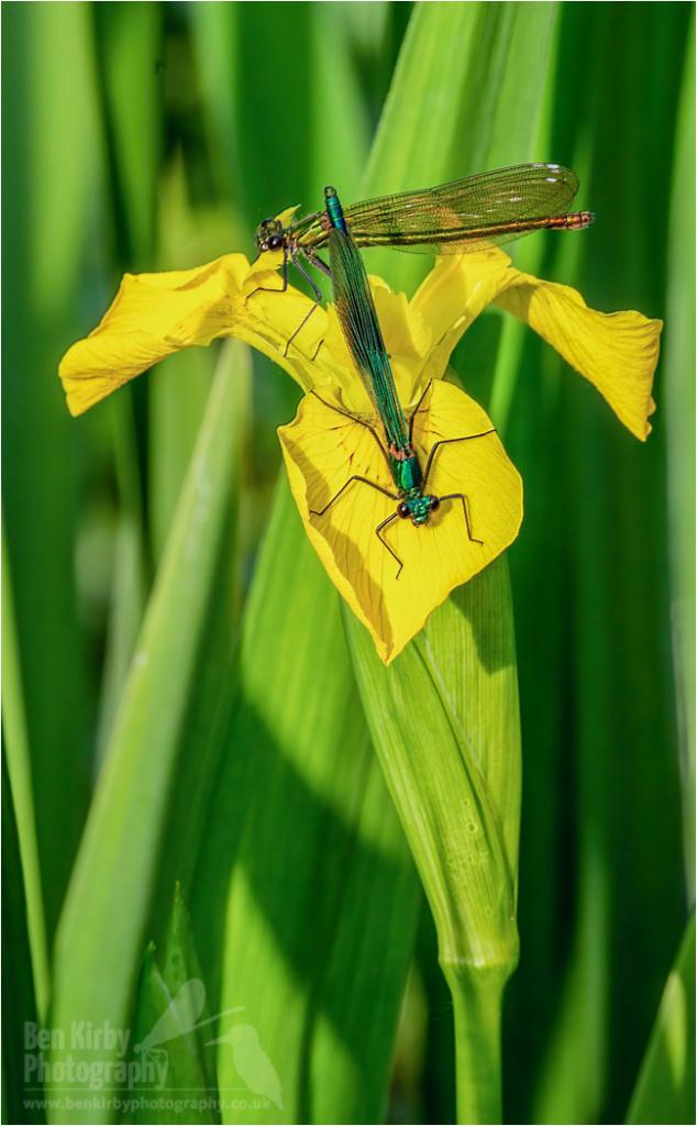 Banded Demoiselles on Iris (BKPDEMO0007)