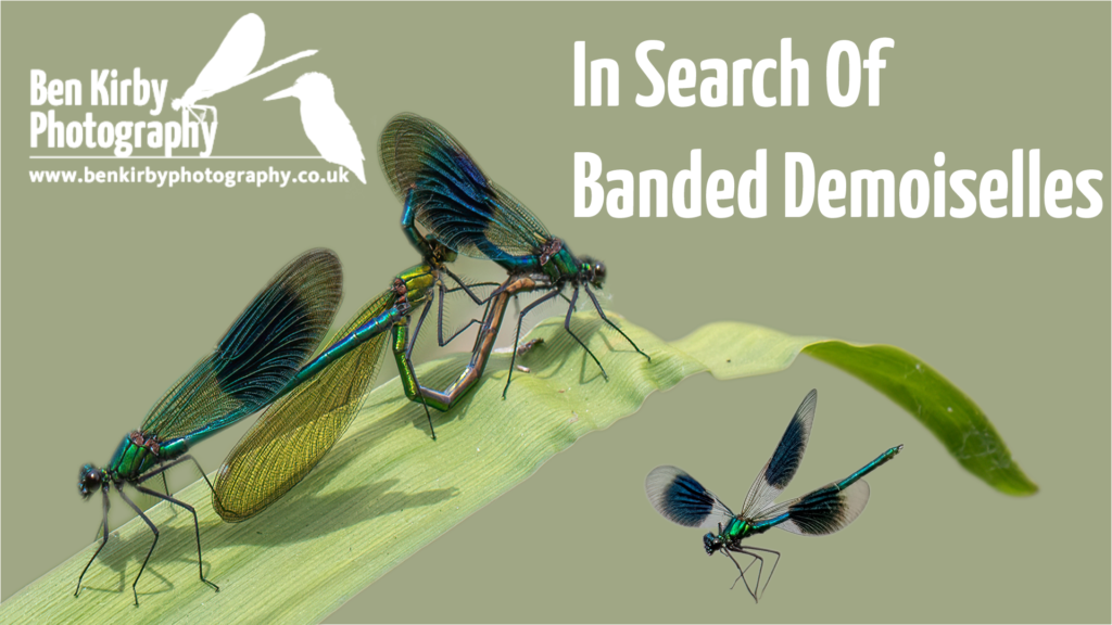 Thumbnail - In search for Banded Demoiselles