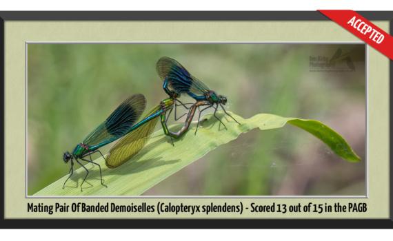 Mating pair of Banded Demoiselles